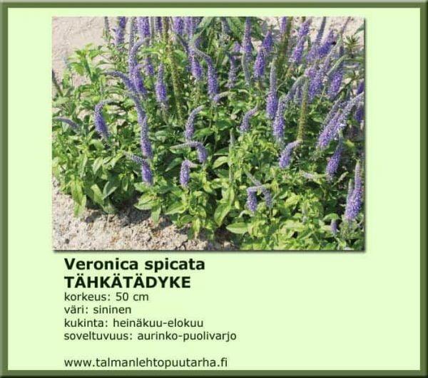 Veronica spicata Tähkätädyke