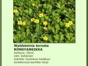 Waldsteinia ternata Rönsyansikki