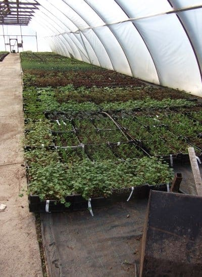 Taimet kypsymässä kasvihuoneessa